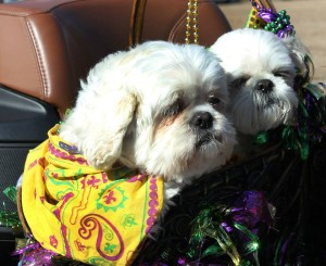 Krewe dogs in parade